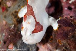 BD-110318-Puerto-Galera-3995-Antennarius-maculatus-(Desjardins.-1840)-[Warty-frogfish].jpg